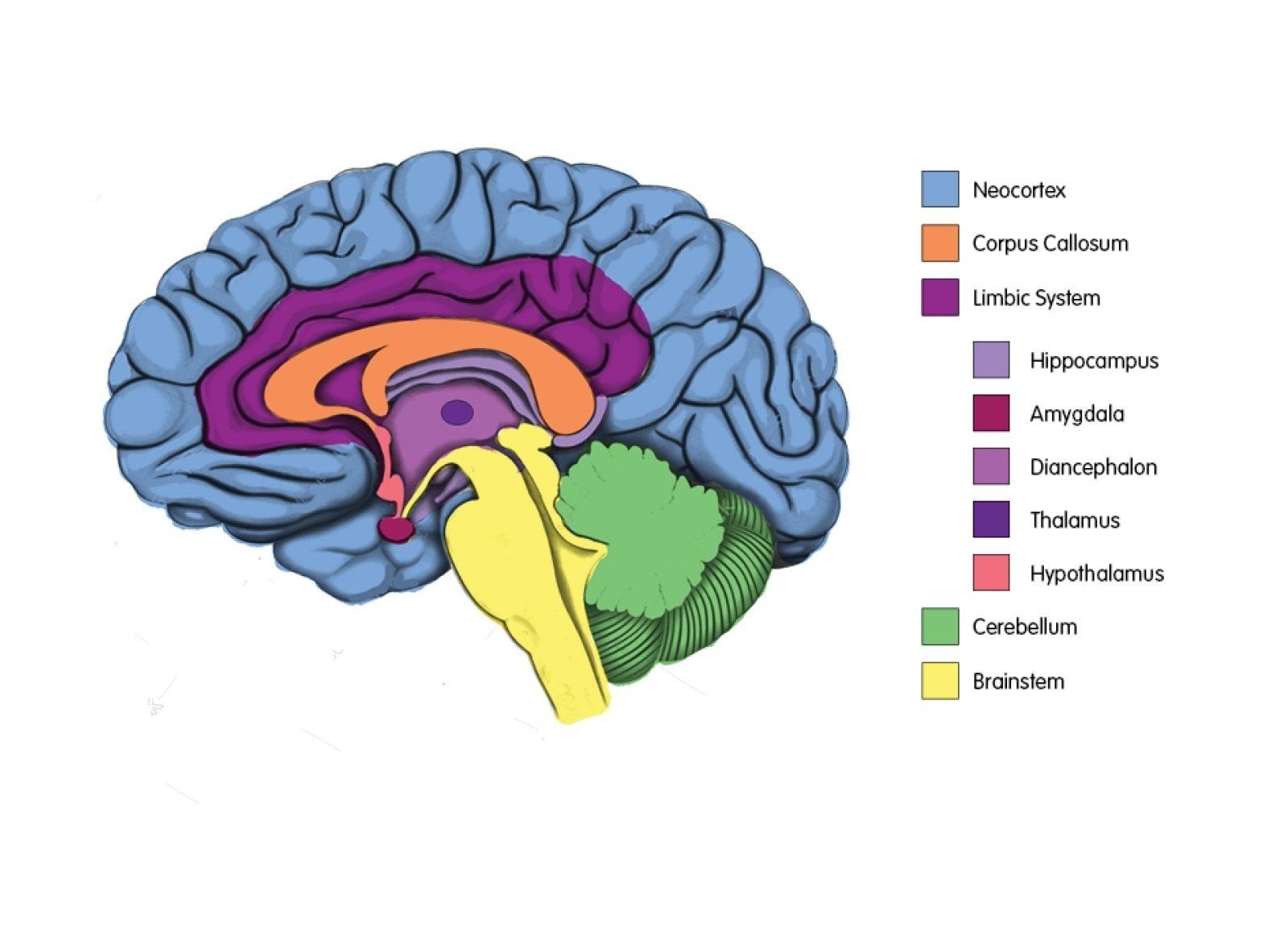Brain diagram labelled2